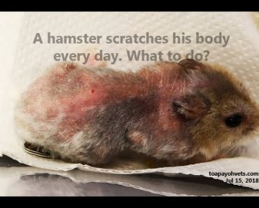 A dwarf hamster scratches daily for many weeks - a dwarf hamster scratches daily for many weeks