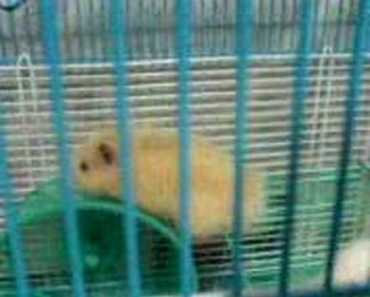 A hamster's weird way to exercise - a hamsters weird way to
