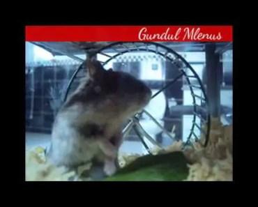 Compilation Funny Hamster Video - compilation funny hamster video