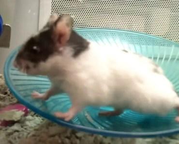 Cute Boy Hamster Washing & Running At Petco Retail Store - cute boy hamster washing running at petco retail store