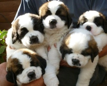 Cute St Bernard Puppies Compilation - Cutest Puppies Ever! - cute st bernard puppies compilation cutest puppies ever