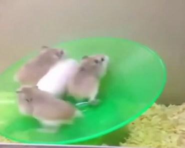 Funny Hamster impossible 01 - funny hamster impossible 01
