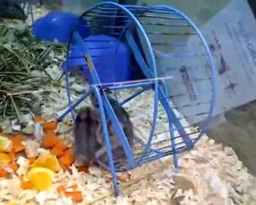 Funny Hamsters (up to 4 in a wheel) (Criceti divertenti) - funny hamsters up to 4 in a wheel criceti divertenti