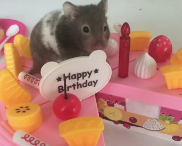 Great Toy for KID's Party and play with baby Hamster try to take over birthday cake - great toy for kids party and play with baby hamster try to take over birthday cake
