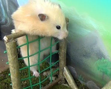 Hamster takes on the Military Obstacle Course! - hamster takes on the military obstacle course