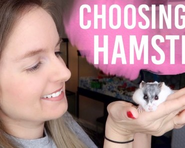 How To Choose A Hamster | Dwarf or Syrian? - how to choose a hamster dwarf or syrian