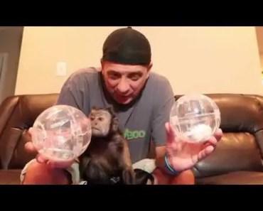 Introducing Ham & Houdi! (MonkeyBoo's Hamsters) - introducing ham houdi monkeyboos hamsters