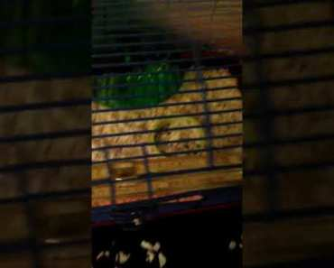 My hamster doing his exercises #FUNNYANIMALVIDEOS *CUTE* - my hamster doing his exercises funnyanimalvideos cute