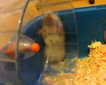 Stupid Hyper Hamster... Funny - stupid hyper hamster funny