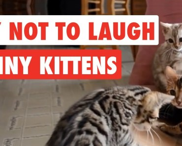 Try Not To Laugh | Funny Kittens Video Compilation 2017 - try not to laugh funny kittens video compilation 2017