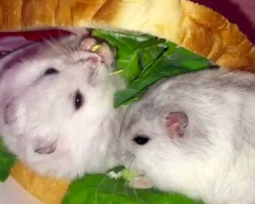 Cute hamster sandwich - Funny videos of hamsters - cute hamster sandwich funny videos of hamsters