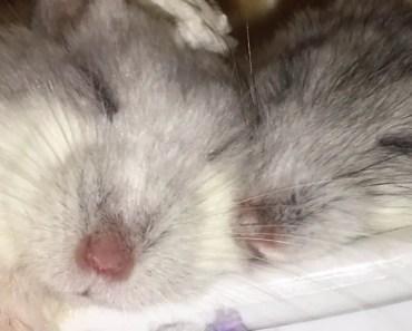 Cute hamsters sleeping in a bathtub - Funny hamster videos - cute hamsters sleeping in a bathtub funny hamster videos