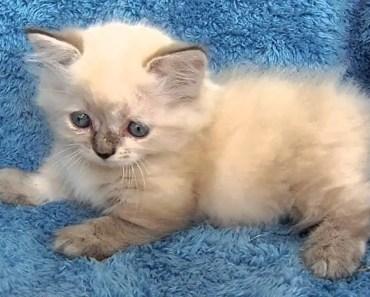 Cute Kittens Video - Cutest Manx Kittens - cute kittens video cutest manx kittens