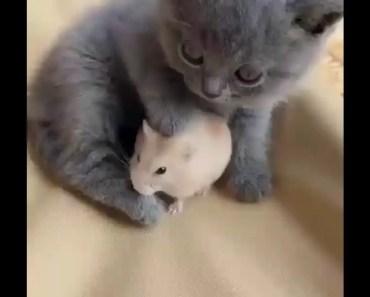 Cute Little Kitten Loves Her Friend 'The Hamster'. - cute little kitten loves her friend the hamster