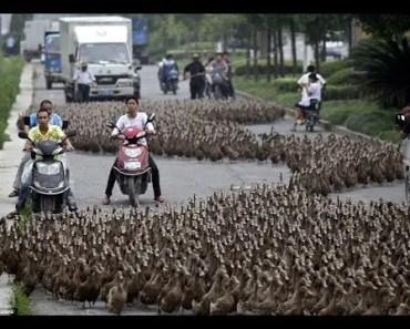 DUCK ARMY - The Power Of Teamwork - Amazing Bird Videos Compilation 2018 [BEST OF] - duck army the power of teamwork amazing bird videos compilation 2018 best of