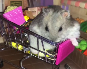 Greedy hamster is going to the supermarket - Cute and funny videos of hamsters - greedy hamster is going to the supermarket cute and funny videos of hamsters