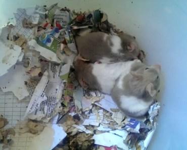 HAMSTER BESAR DAN LUCU (BIG AND FUNNY HASTER) - hamster besar dan lucu big and funny haster