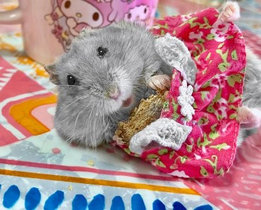 Hamster eating in a dress - Cute and funny videos of hamsters - hamster eating in a dress cute and funny videos of hamsters