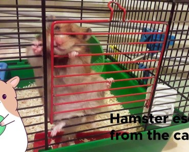 Hamster escape from her cage, funny Hamster video. - hamster escape from her cage funny hamster video