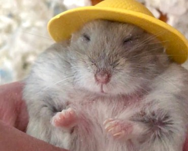 Hamster in hat falls asleep after pampering massage - Cute and funny videos of hamsters - hamster in hat falls asleep after pampering massage cute and funny videos of hamsters