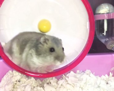 Hamster running wheel slow motion - Cute and funny videos of hamsters - hamster running wheel slow motion cute and funny videos of hamsters