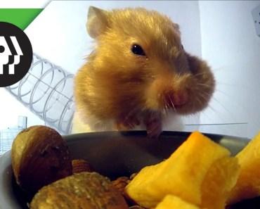 Hamster Stuffing Cheeks - hamster stuffing cheeks