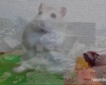 Hamster Vietnam Flashback - hamster vietnam flashback