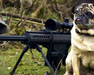 Sniper Pug - sniper pug