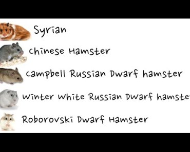The 5 Domestic Species Of Hamster - the 5 domestic species of hamster