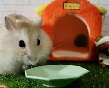 Tiny Hamster Eating [Cute Hamster Vid] - tiny hamster eating cute hamster vid