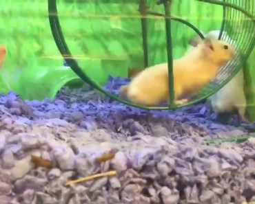 Viral ! Hamster Has Epic Fail on Running Wheel | funny hamsters | Funny Hamster Viral Vide - viral hamster has epic fail on running wheel funny hamsters funny hamster viral vide
