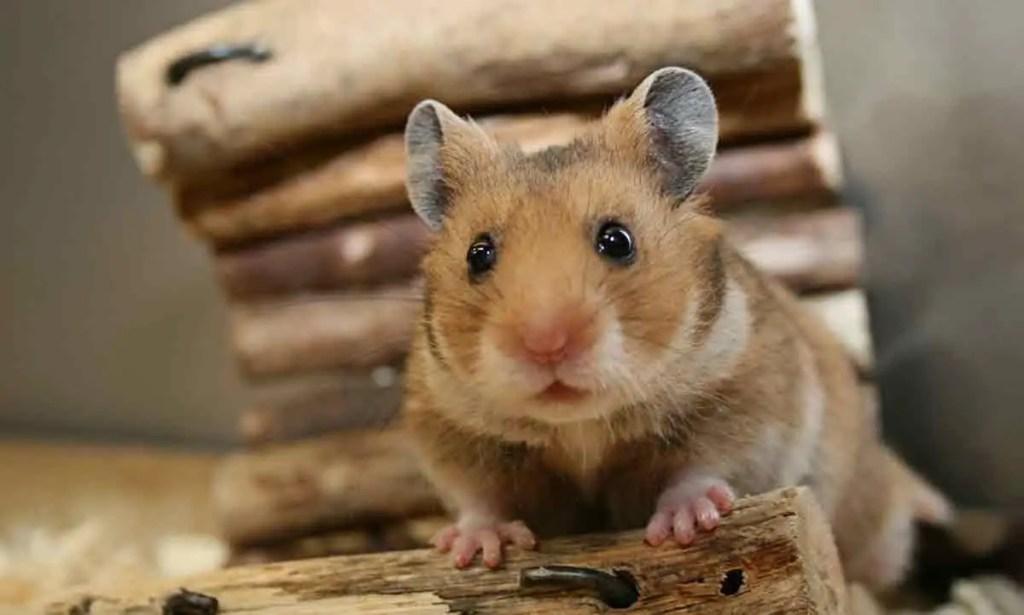 Top 10+ Best Hamster Chews