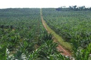 palm-oil-fields