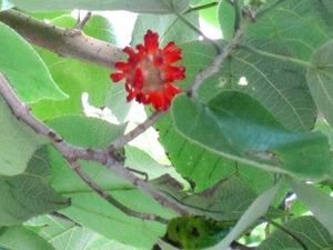 この木何の木 カジノキ(梶の木): 花と旅のあるくらし