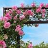 バラ 海の中道海浜公園(2018年5月5日)