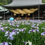 拝殿前の菖蒲の写真