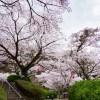 桜 発心公園(2019年3月30日)
