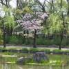 桜・椿・チューリップ 石橋文化センター(2019年3月30日)