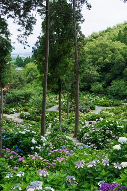 光寺の紫陽花の写真