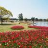チューリップ 海の中道海浜公園(2020年3月24日)