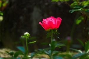 芍薬の写真