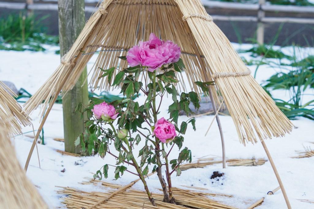 筥崎宮花庭園の冬ぼたん