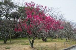 舞鶴公園の梅の写真
