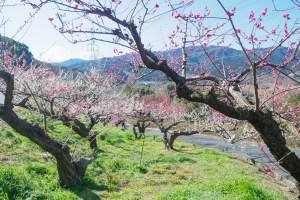 花畑園芸公園の梅の写真
