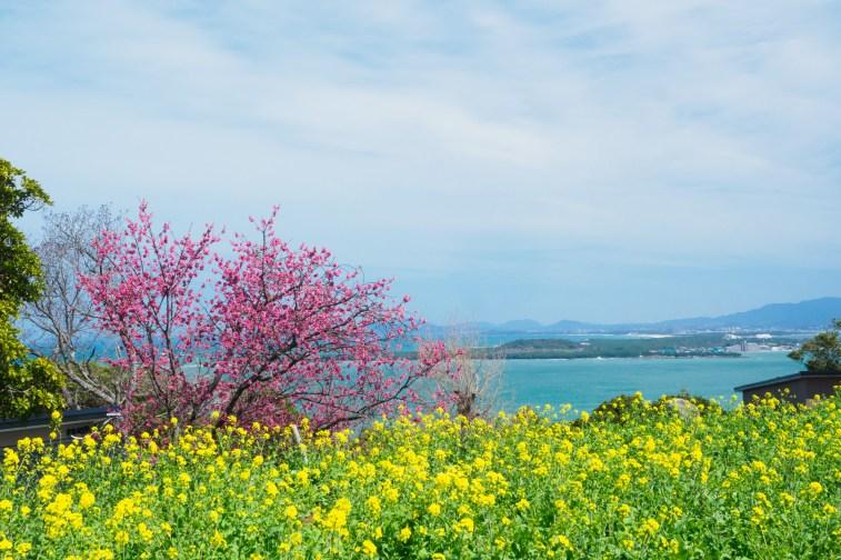 アイランドパークの菜の花の写真