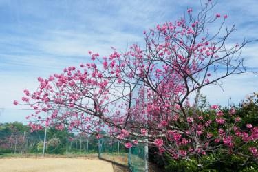 アイランドパークの桜の写真