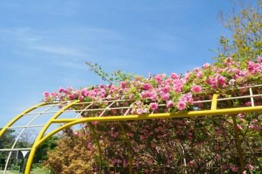 海の中道海浜公園のバラの写真