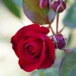 薔薇(rose)の特徴と花言葉