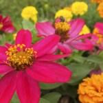 ジニア(百日草 Zinnia)の特徴と花言葉