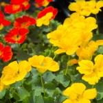 ナスタチウム(Nasturtium)の特徴と花言葉